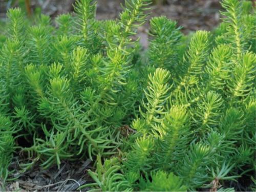 Plantas em alvéolo - Sedum Rupestre