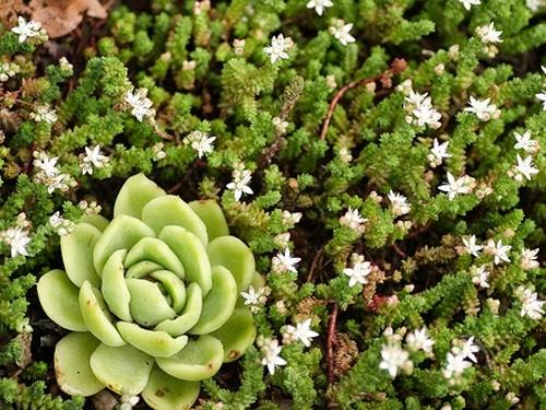 Plantas em alvéolo - Sedum Moranense