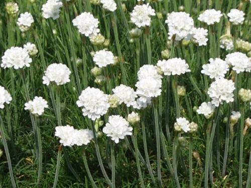 Plantas em alvéolo - Armeria maritima alba