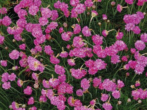 Plantas em alvéolo - Armeria maritima splendens
