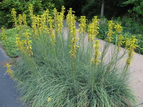Plantas em alvéolo -Asphodeline lutea