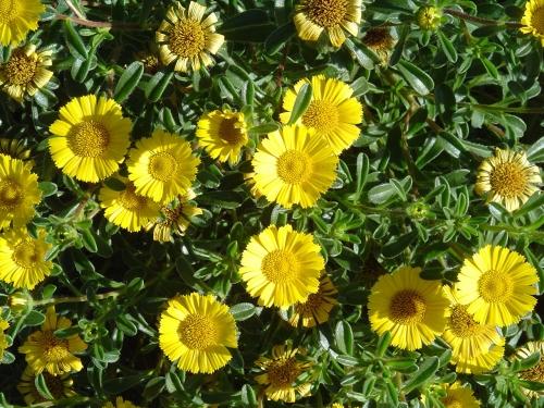 Plantas em alvéolo - Asteriscus maritimus