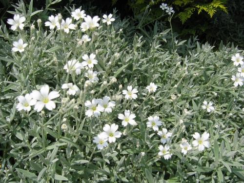 Plantas em alvéolo - Cerastium tomentosum