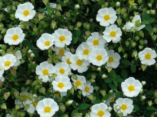 Plantas em alvéolo - Cistus salvifolius