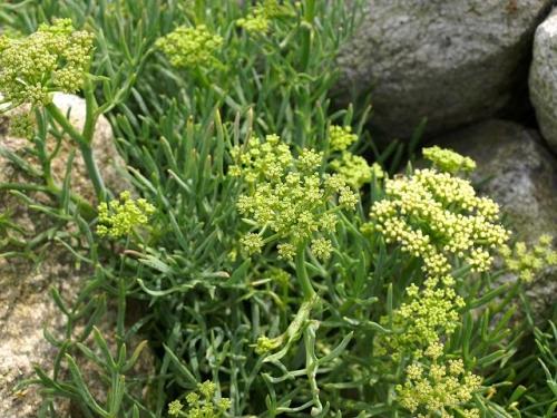 Plantas em alvéolo - Crithmum maritimum