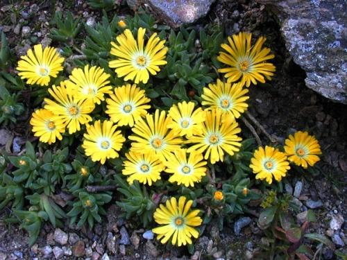 Plantas em alvéolo - Delosperma congestum