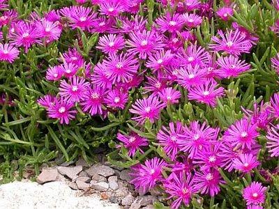 Plantas em alvéolo - Delosperma cooperi