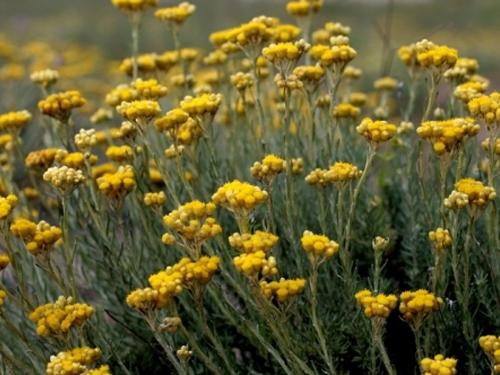 Plantas em alvéolo - Helichrysum italicum