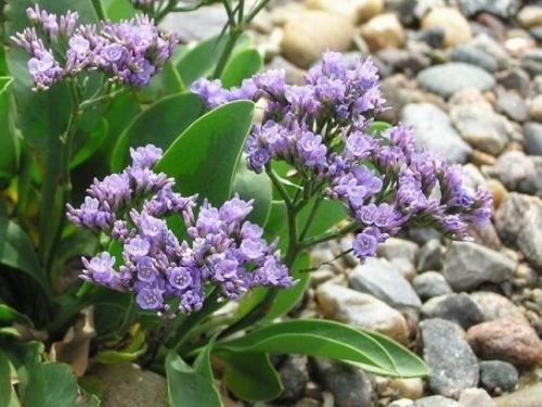 Plantas em alvéolo - Limonium vulgare