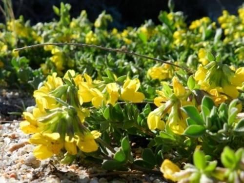 Plantas em alvéolo - Lotus creticus