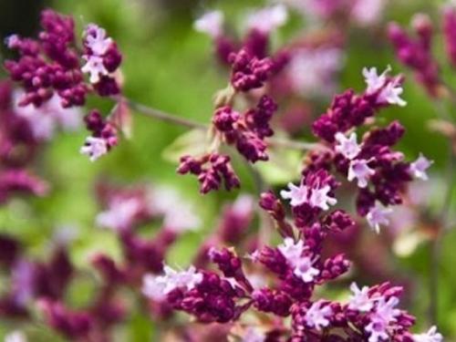 Plantas em alvéolo - Origanum vulgare