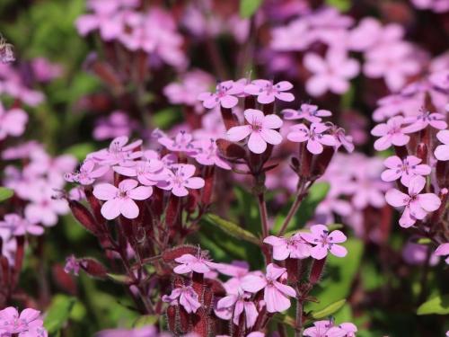 Plantas em alvéolo - Saponaria ocymoides