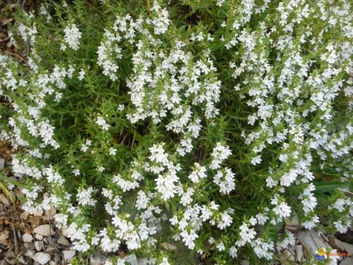 Plantas em alvéolo - Satureja montana