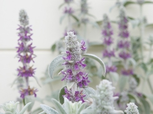 Plantas em alvéolo - Stachys byzantina