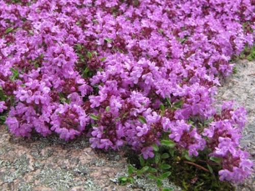 Plantas em alvéolo - Thymus serpyllum