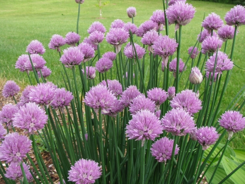 Plantas em alvéolo - Allium schoenoprasum