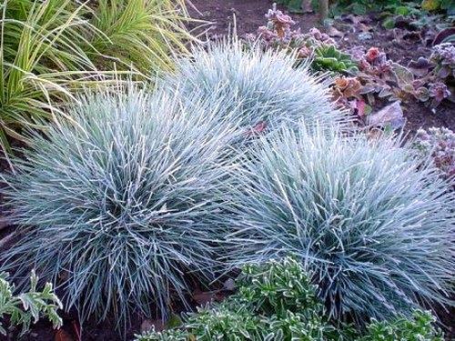 Plantas em alvéolo - Festuca glauca