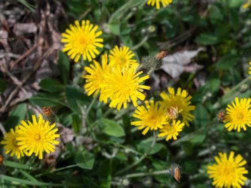 Plantas em alvéolo - Hieracium pilosella