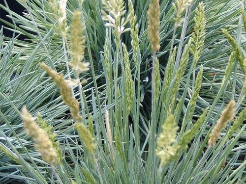 Plantas em alvéolo - Koeleria glauca