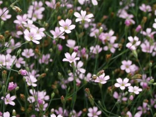 Plantas em alvéolo - Petrorhagia saxifraga