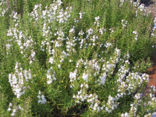 Plantas em alvéolo - Thymus vulgaris